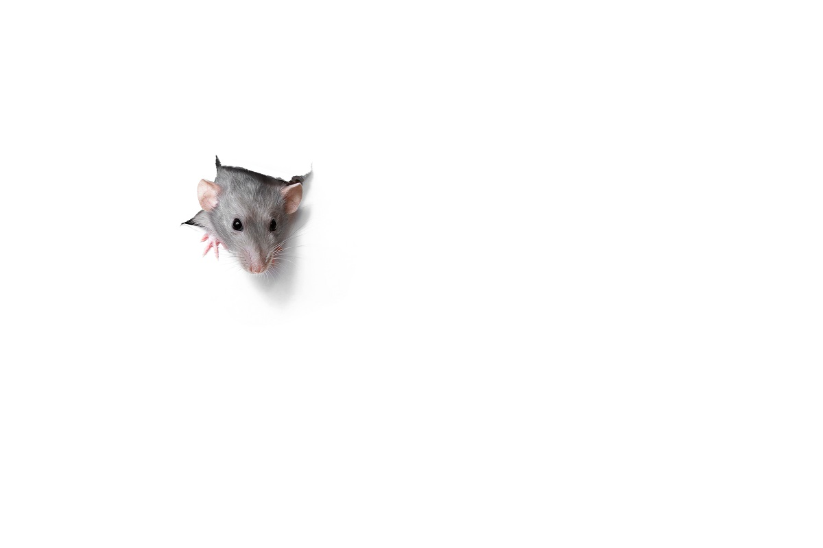 rat peeping through a hole